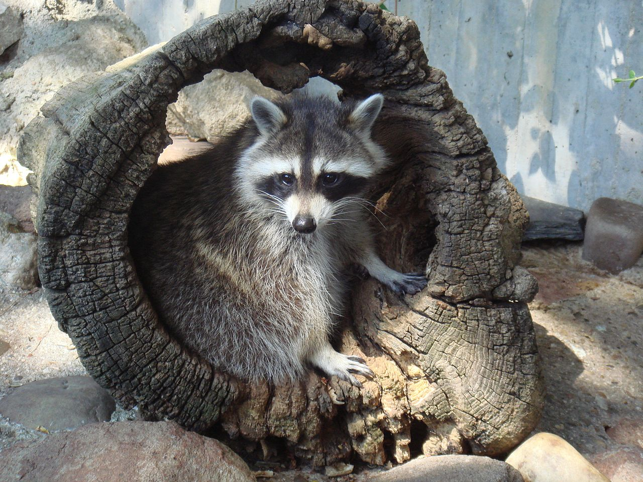 How to keep raccoons out of a garden How to keep raccoons out of garden