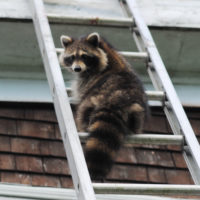 raccoon removal Scarborough